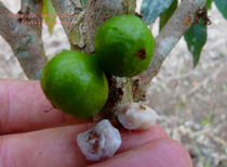 Click to Enlarge White Jaboticaba Photo