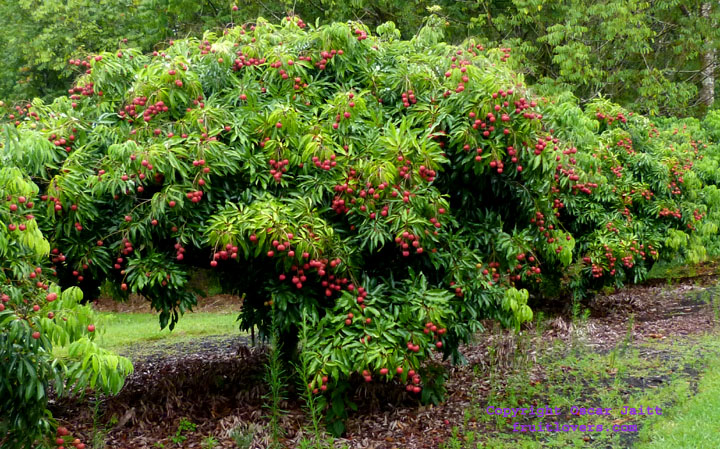 lychee tree, Beautiful flower