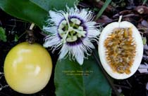 Yellow Lilikoi Passionfruit click to Enlarge